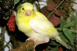 Unbekannte stehlen im Landkreis Wolfenbüttel 27 Kanarienvögel
